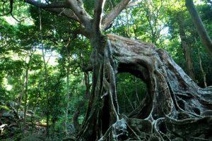 Cây Đa ngơ ngác tại Nhất Thủy Lâm Trang Trà