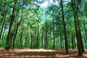 Lạc vào thiên nhiên với rừng thông Bồ Bồ