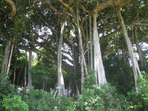 Nhiều rễ phụ to và chắc của Cây đa ngàn năm
