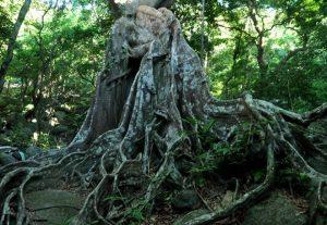 Cây đa di sản đầu tiên của Đà Nẵng